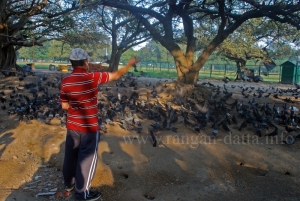Feeding of Pigeons, Maidan, Kolkata (Calcutta)