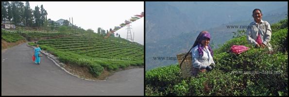 Kurseong Tea Gardens and Tea plucking