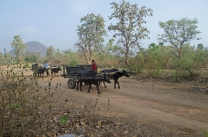 Bullock Carts at Baranti (Boronti) Village