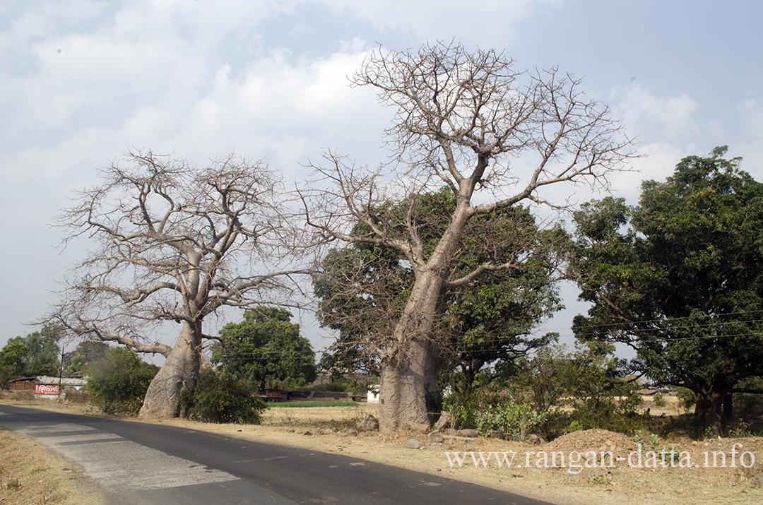 Baobab Trees in Mandu, Madhya Pradesh (MP)