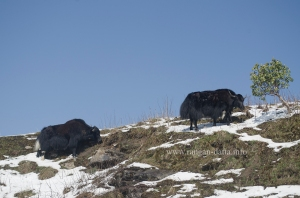 Yaks gazing along the Silk Route