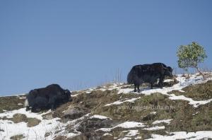 Yaks gazing along the Silk Route