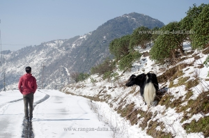 Along the snow trail, with a yak in company, Silk Route, East Sikkim