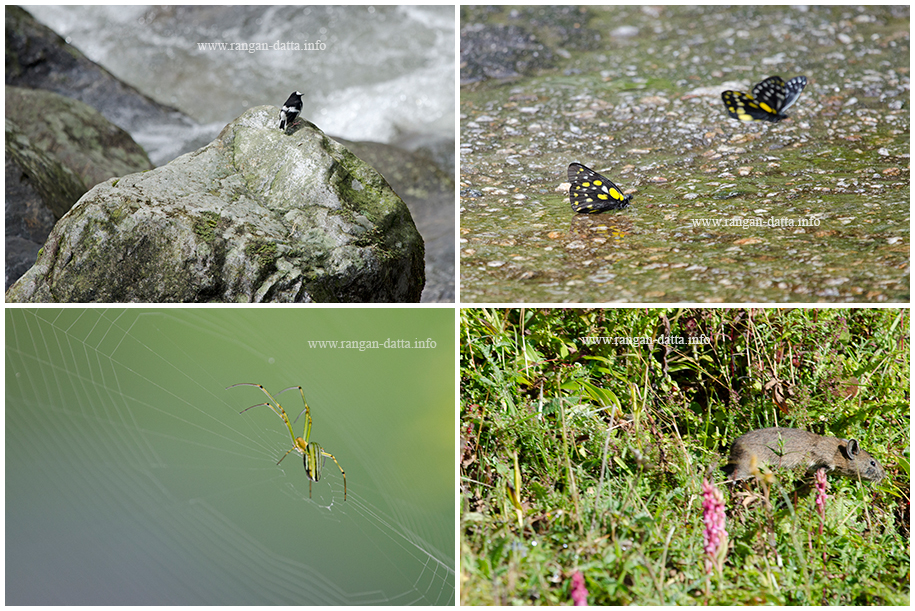 My shots from the Birding Trail of East Sikkim. Top Left: Little Fork Tail, Kuekhola, Top Right: Hill Jegebel, Kuekhola, Bottom Left: Orchid Spider, Lingtam and Bottom Right: Jungle Pika, Lungthung