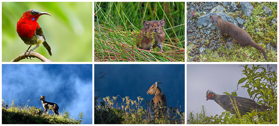 Others photo from Birding Trail of East Sikkim. Top Left: Crimson Sun Bird (Deepanjan Biswas), Top Middle: Jungle Pika (Kushankur bhattacharyya) Top Left: Himalayan Weasel (Pinaki Dutta), Bottom Left: Ghoral (Sahan Baikal) Bottom Middle: Ghoral  (Kushankur Bhattacharyya) and Bottom Right: Blood Pheasant (Suvendu Rudra)