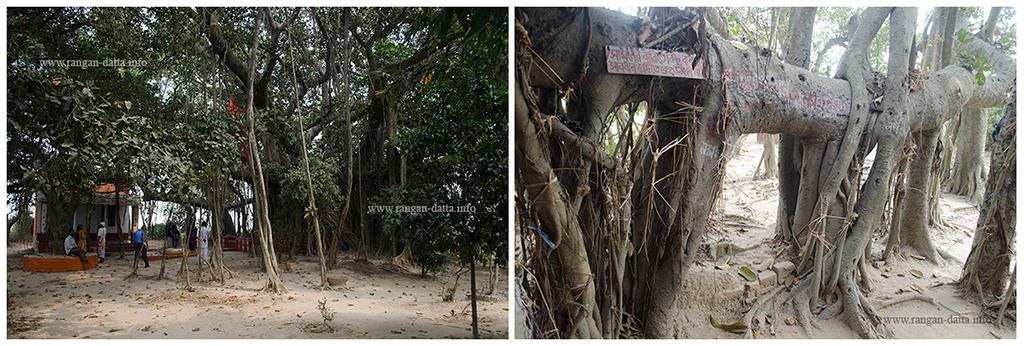 Ancient Banyan Tree, Narmadeshwar Ashram, Amadpur, Memari, Bardhaman