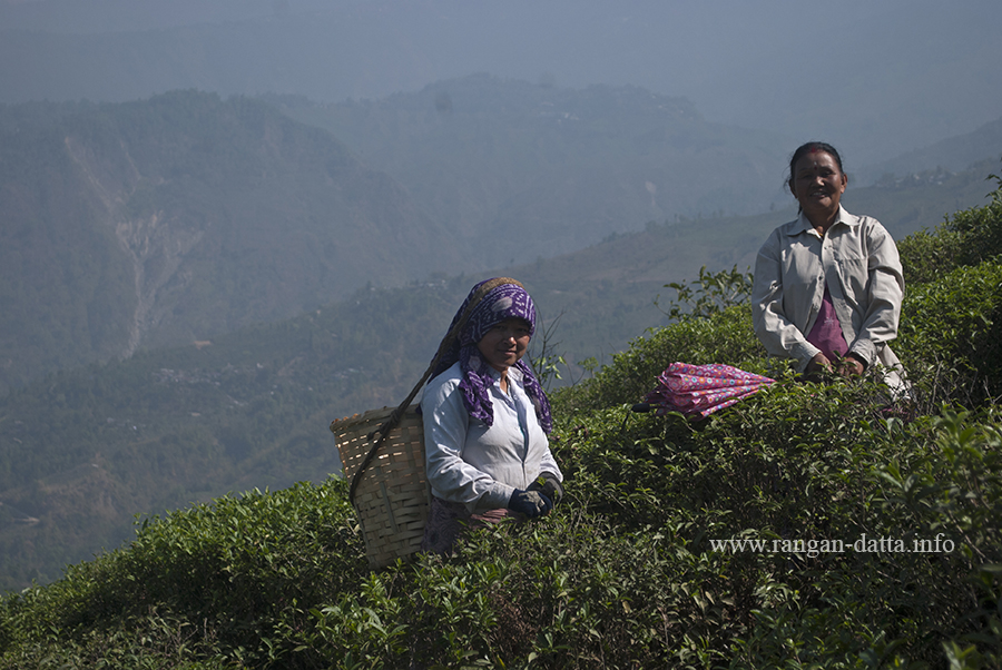 Tea Plucking at Castleton Tea Garden, Kurseong  (File Photo)