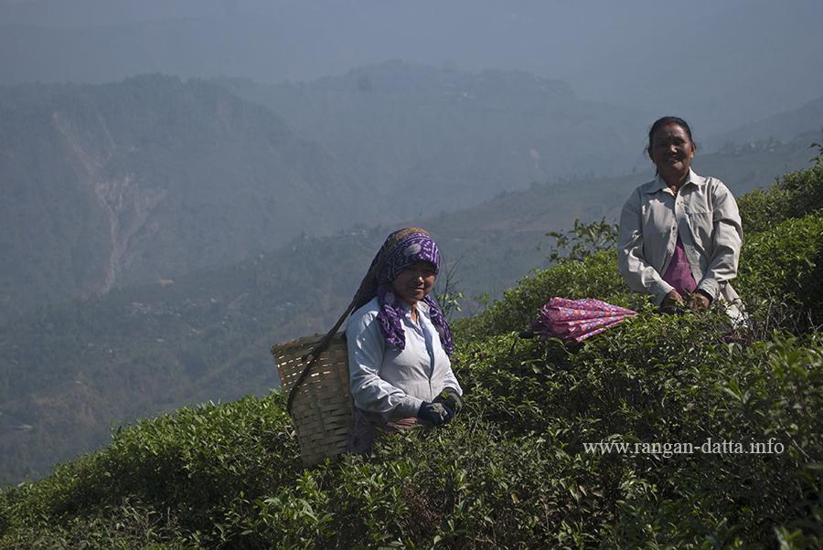 Tea Plucking at Castleton Tea Garden, Kurseong (File Photo)