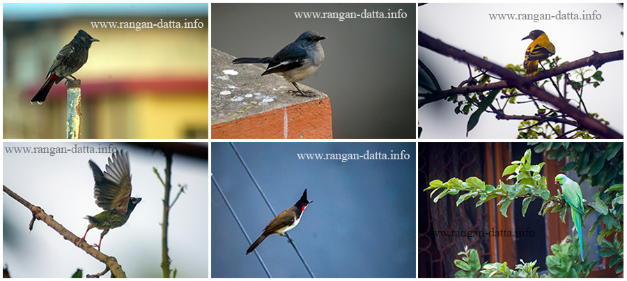 Clockwise from top left: Red Vented Bulbul. Oriental Magpie Robin, Black Hooded Oriole, Rose Ringed Parakeet, Red Whiskered Bulbul and Coppersmith Barbet