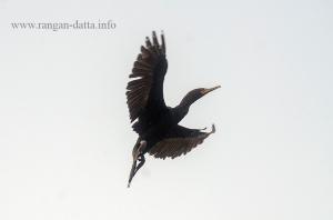 A Cormorant in flight, Rabindra Sarobar