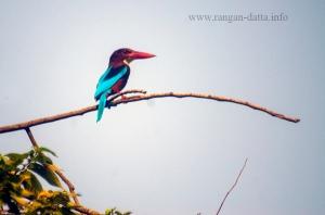 White Breasted Kingfisher, Rabindra Sarobar