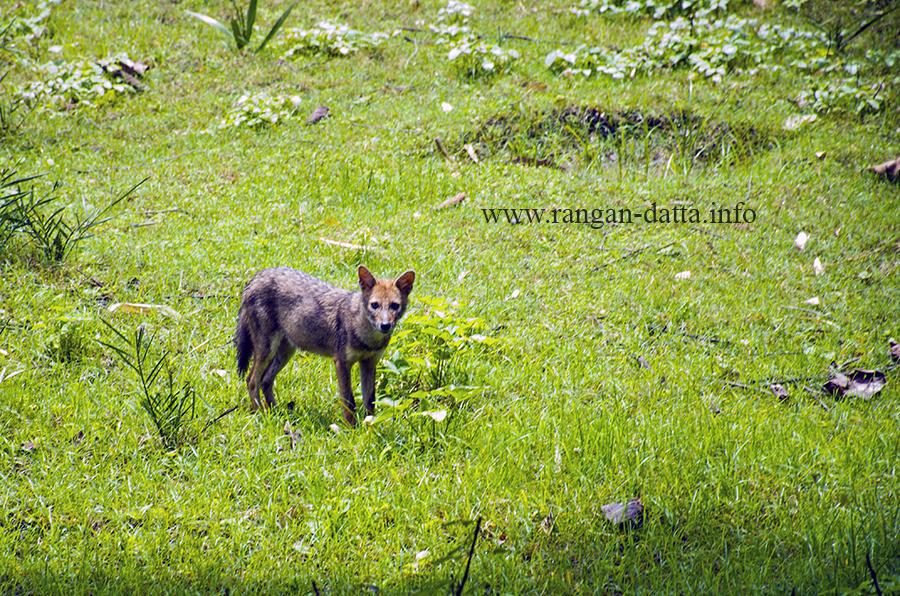 A Bengal Fox near Golpata Forest, Taki