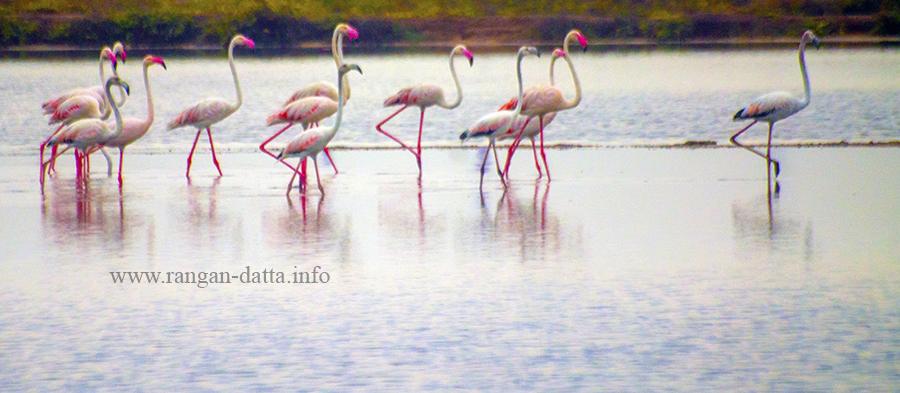 Flamingos at the salt pans of Tuticorin (Thoothukudi)